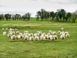 There are sheep in Ireland everywhere, and apparently they are so bored that a hiker is a main attraction for them.